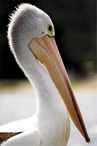 Pelican at Bermagui